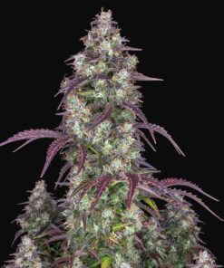 lemon_pie_3-superseeds1