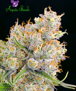 Future-1-Anesia-superseeds1
